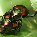 japanese_beetles_mating_jeff