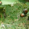 japanese_beetles_richard