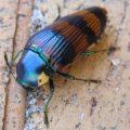 jewel_beetle_australia_jess