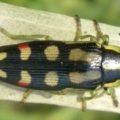 jewel_beetle_castiarna_australia_chris
