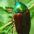 jewel_beetle_india