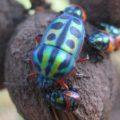 jewel_bugs_camaroon_liz