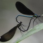 jewelwings_mating_et