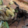 jumper_eats_cicada_chris