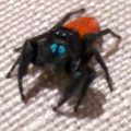 jumping_spider_dana