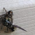 jumping_spider_eats_soldier_fly_andrea