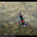 jumping_spider_india