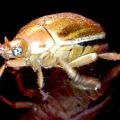 june_beetle_china_mike