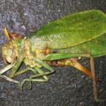 katydid_gecko_food_new_caledonia