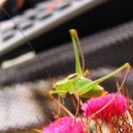 katydid_germany