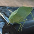 katydid_kelly