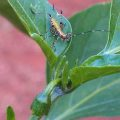 katydid_nymph_jered