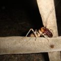 king_cricket_madagascar_richard