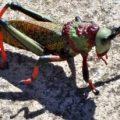 koppie_foam_grasshopper_swaziland_barbara
