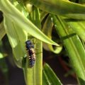 lady_bug_larva_la