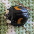 Unknown Ladybird