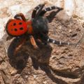 ladybird_spider_greece_dimitrius