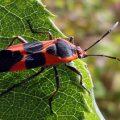 large_milkweed_bug_anna