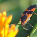 large_milkweed_bug_bill