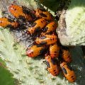 large_milkweed_bug_nymphs_john