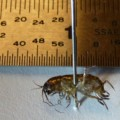 lawn_shrimp_samantha