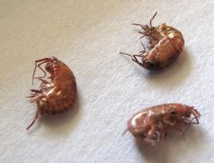 Lawn Shrimp What S That Bug