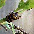 leaf_beetle_bassareus_linda