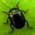 leaf_beetle_chrysolina_allison