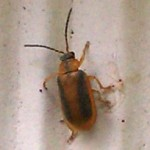 leaf_beetle_claudia