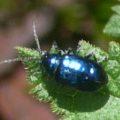leaf_beetle_elise_australia