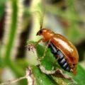 leaf_beetle_philippines_bev