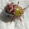leaf_beetle_thomas