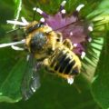 leafcutter_bee_james