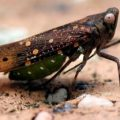 leafhopper_australia_paul