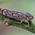 leafhopper_mexico_axel