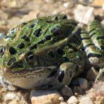 leopard_frog_mm