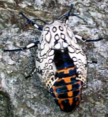 Giant Leopard Moth What S That Bug