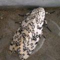 leopard_moth_meg