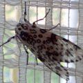 leopard_moth_sydney