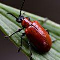 lily_leaf_beetle_katie