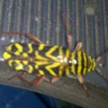 locust_borer_becki