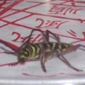 locust_borer_tory