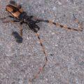 long_jawed_borer_beetle_meg