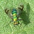 longlegged_fly_cathy