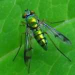 longlegged_fly_dori