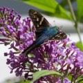 longtailed_skipper_bill