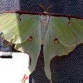 luna_moth_ty