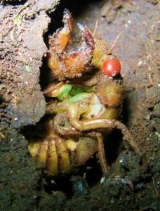 cassini periodical cicadas - photo #45