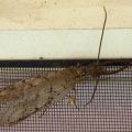 male_dobsonfly_marybeth