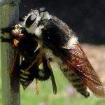 Bee Killer Eats Wasp